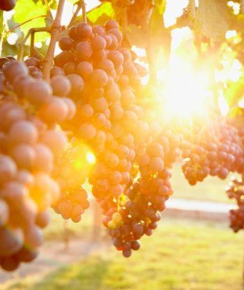 როდის დგება ტექნოლოგიური სიმწიფე და რამდენი % შაქრიანობა უნდა ქონდეს საღვინე ყურძენს