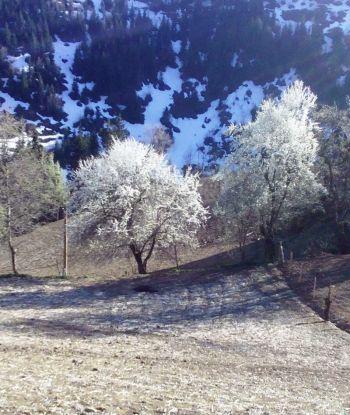 დღის ფოტო: თოვლი და აყვავებული ხეხილი მაღალმთიან აჭარაში