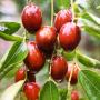 უნაბი - სიცოცხლის ხე, მცენარე, რომელიც სასწაულებს ახდენს